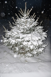 A pine